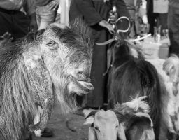 At the Cattle Market at Rahat
